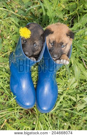 Two young puppies of Siberian dogskin on green grass with dandelions and blue boots in summer
