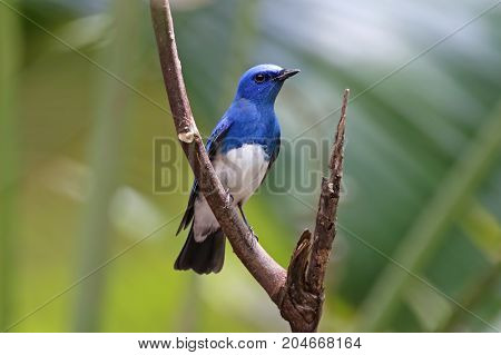 Zappey's Flycatcher Cyanoptila Cumatilis Male Beautiful Birds Of Thailand