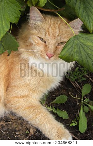 Portrait of a young beautiful ginger cat resting under a bush in the garden