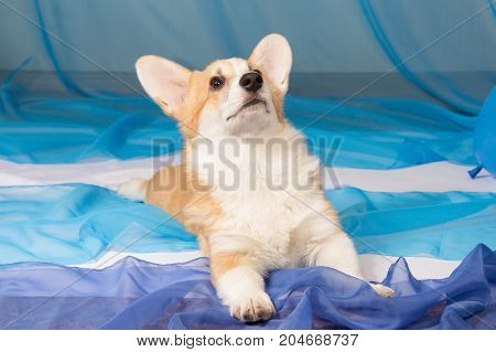 Portrait of a beautiful dog puppy of welsh corgi pembroke of red color with sticking out tongue on a blue background