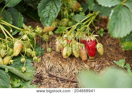 Ripening strawberry. Juicy green foliage. Red and green