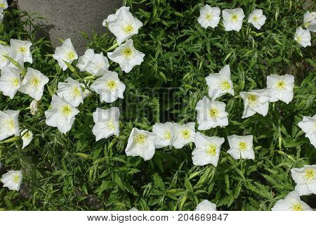 Lots Of White Flowers Of Oenothera Speciosa