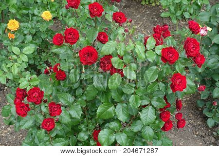 Bush Of Bright Red Roses In Full Bloom