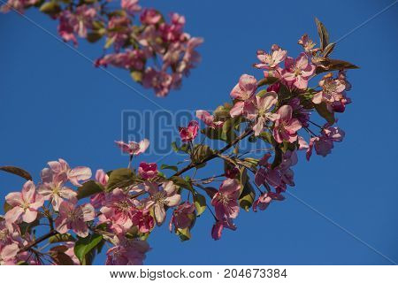 Branches of apple-tree with pink flowers against a clear blue spring sky