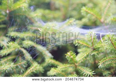 spider webs on spruce branches. forest blurred background. spruce needles and cobwebs closeup