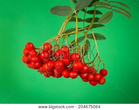 Beautiful fresh Rowan berry over green background
