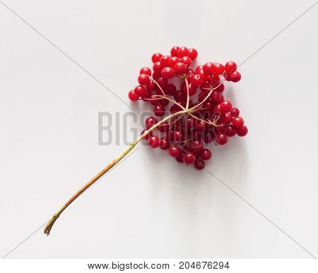 Red viburnum berries at white background. Colorful autumn and seasonal harvest concept