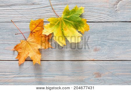 Autumn seasonal background, colorful maple leaves on gray rustic wood background with copy space.