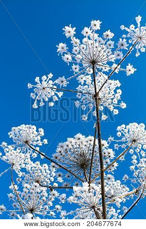 abstract snowy flowers on blue sky background. dry plants covered with snow in winter.