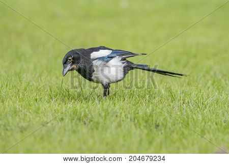Magpie Juvenile Standing On The Grass, Close Up