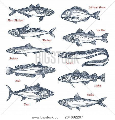 Fish species sketch icons set. Vector isolated horse mackerel, gilt-head bream or sea bass and anchovy, ocean eel, hake or codfish and sardine with for seafood or fish market or fishing sport design