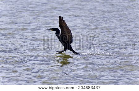 Isolated Image Of A Cormorant Landing To Lake