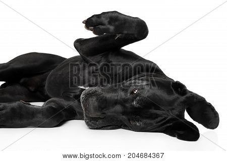 Great Dane Lying Down And Playing