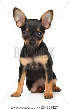 Toy Terrier Puppy Sits