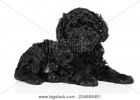 Poodle Puppy (1 Month) On White Background