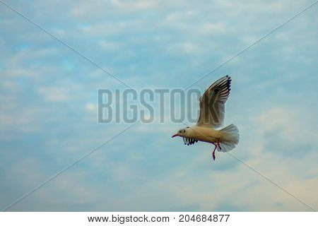 gull flying against a cloudy sky in the evening
