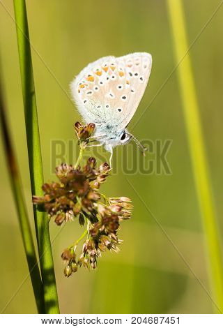 A Common Blue Butterfly resting on a plant in a nature reserve in Cornwall UK