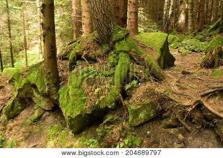 Mossy undergrowth in mountain fairytale forest. Rocks, green stones, root. Carpathian mountains, National Park Skole Beskids, Ukraine