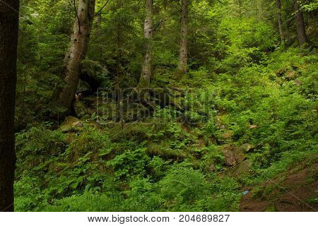 Mossy undergrowth in mountain fairytale forest. Thicket of fern, green stones, root. Carpathian mountains, National Park Skole Beskids, Ukraine