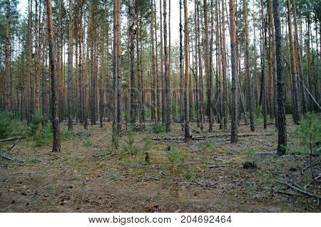 pine forest in autumn, old trees, small pines