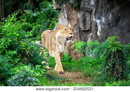 Lioness (panthera Leo) Walking Though Grass While Hunting For Food