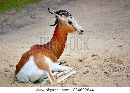 Springbok antelope ( Antidorcas marsupialis) resting outdoors