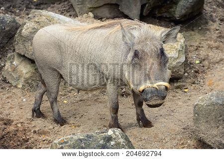 Common warthog ( Phacochoerus africanus ). Portrait