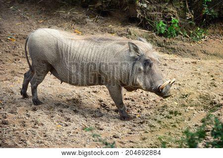 Common warthog ( Phacochoerus africanus). Side view