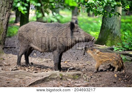 Wild Boar Family, Mother With Little Striped Piglet Walking In The Forest