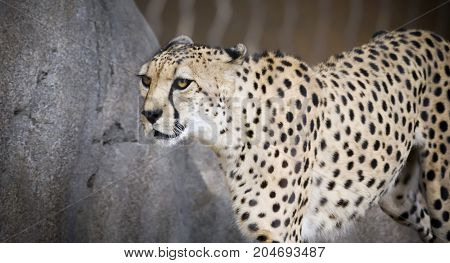 A Captive Zoo Cheetah Through the Fence of Its Enclosure