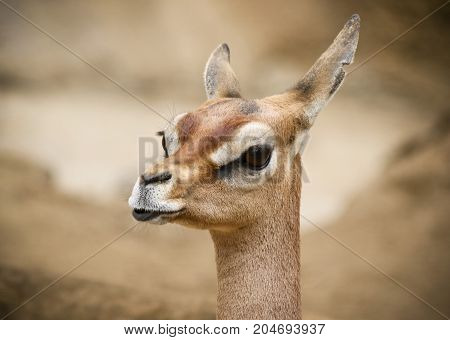 A Close Portrait of a Female Gerenuk Garanuug or Giraffe Gazelle