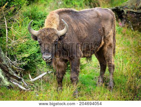 European Bison In The Forest. Wisent. Bison Bonasus