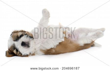 rolling puppy shitzu in front of white background