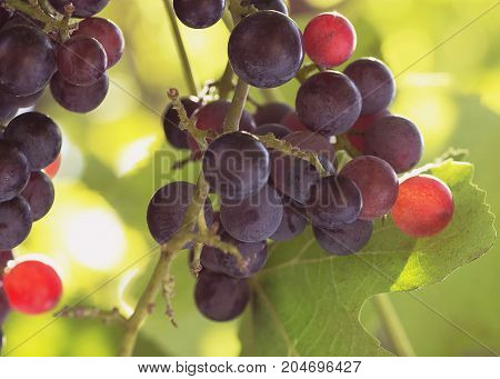 Natural background brush of grapes berries lit by the sun