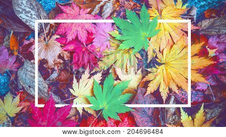 Background of white frame and colorful maple leaves in autumn. Vintage tone