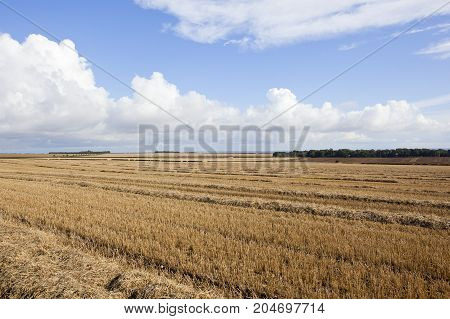 Harvested Wheat And Woodland