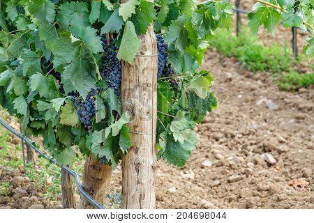 Closeup of vine plantation edge and purple grapes