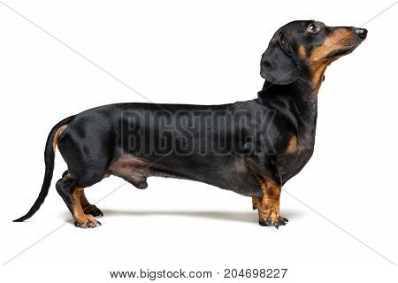 A dog (puppy) of the dachshund breed black and tan stands with a forepaw on a gray background