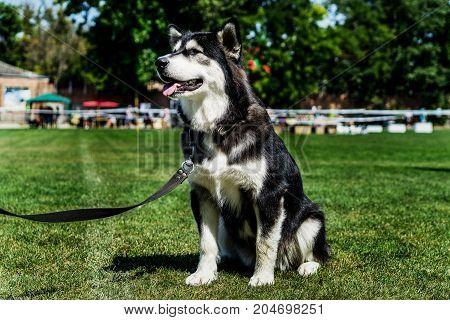 Dog breed Alaskan Malamute on green grass