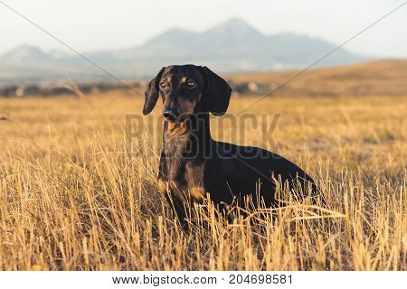 dog (puppy) breed dachshund black tan playing and walking on a autumn grass and mountains