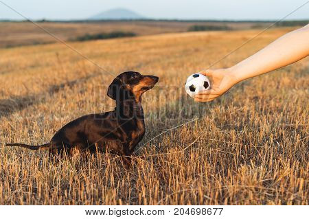 dog (puppy) breed dachshund black tan looks at the host's hand with the ball in anticipation of the game. Dog playing in the game with a man.