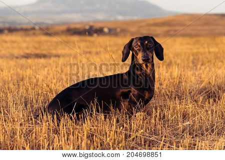 close-up dog (puppy) breed dachshund black tan playing and walking on a autumn grass in the park.