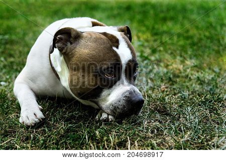 staffordshire bull terrier dog sad lies on the green grass