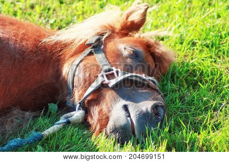 Portrait of a pony slleping on the grass
