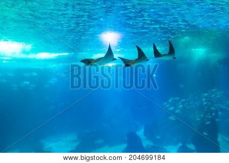 Three Manta Ray swims in large sea water aquarium. Lisbon Oceanarium, Portugal. Tourism, holidays and leisure concept. Underwater blue background with copy scape.