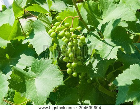 Bunch of green unripe white grapes in leaves growing on vines close-up selective focus shallow DOF.