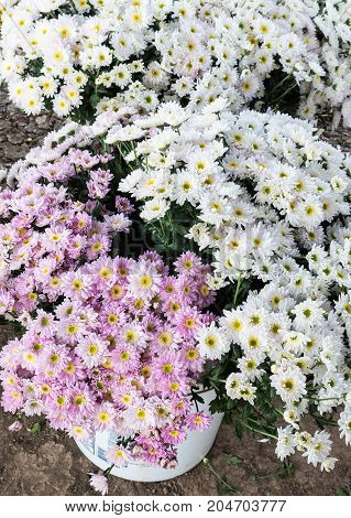 White and pink chrysanthemum bouquet in the plastic bucket for ready to sale in the local market.