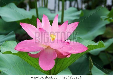 Lotus flower (Nelumbo) in a lake - macro shot