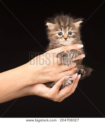 Cute fluffy siberian kitten on the human's hands over black background