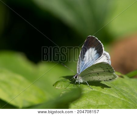 A Summer Azure Gossamer Wing (Celastrina Neglecta) a small butterfly, resting on a leaf near Lake Ontario, New York.
